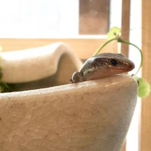 ニホントカゲの難産記【無事に孵化?】【我が家ではほぼ100%ベタ慣れ】