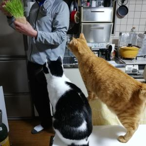 久しぶりの猫草