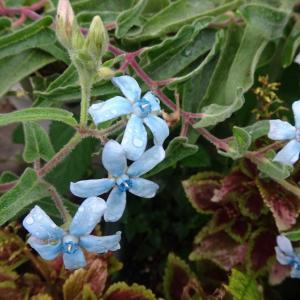 我が家にいる青い花たち