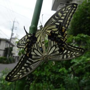 アゲハチョウが交尾中