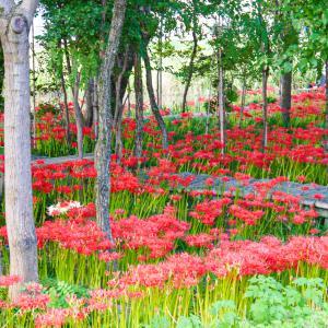 【岐阜】真っ赤な彼岸花に癒されよう|やすらぎの林