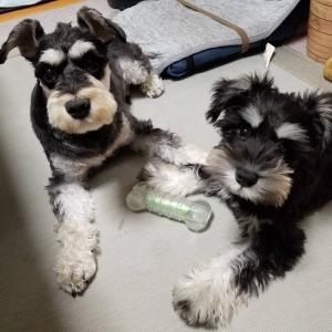 犬の多頭飼い ~子犬を迎えて1か月・飼育の様子~