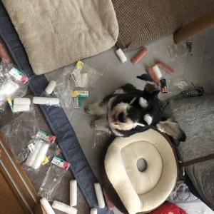 共働きで犬を飼っている生活 〜室内フリー飼育〜