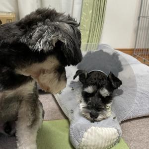 犬の目の怪我〜前房出血〜