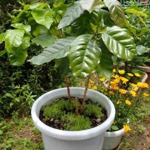 3年目のコーヒーの木