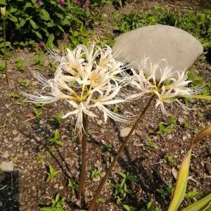 庭のヒガンバナ