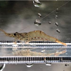 日本海流入小河川でエビを採る