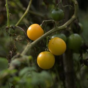 ミニトマトのタネ採り