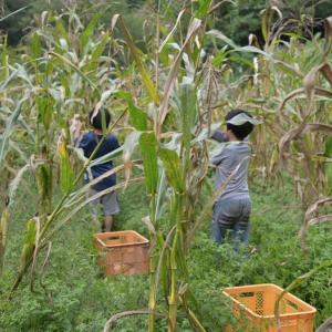 ブルーコーンの収穫