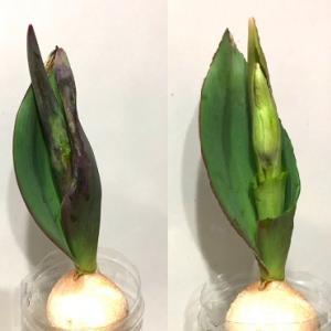 チューリップの水耕栽培は失敗