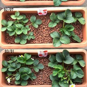 東京おひさまベリーの水耕栽培4ヶ月分まとめ