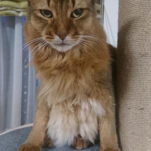 座り方がほんの少しおかしい猫 チー君