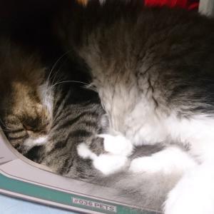 今日は朝寝坊・・・ご飯くれとねだる猫