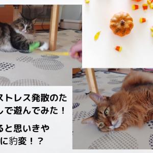 トトとチーのストレス発散のために猫じゃらしで遊んでみた!喜んでいると思いきや荒ぶる猫に豹変!?