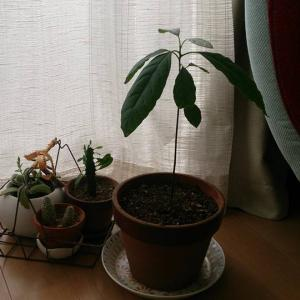 【COCO日】COCO家の植物たち vol.1 アボカド