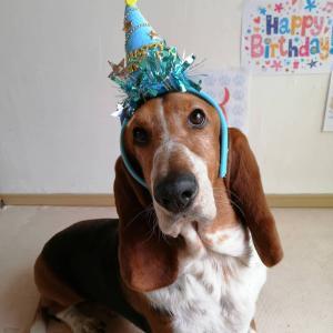 耳長バセットの看板犬バロン4歳なりました!