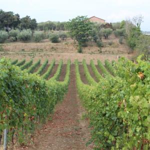 フラスカーティワインの収穫 Vendemmia