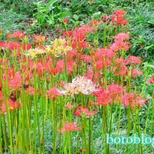 荒サイ吉見さくら堤公園で彼岸花咲いてます!桜もわずかに開花中!
