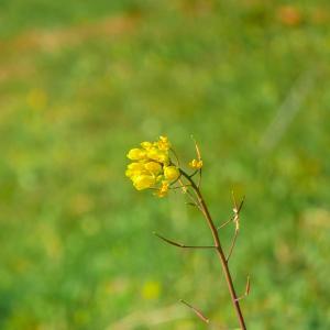 【荒サイの花】こんな寒くても健気に咲く菜の花