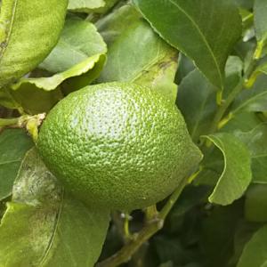 緑色のレモンの実がたくさんなりました!