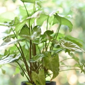 猛暑日のおうち時間~観葉植物といっしょに