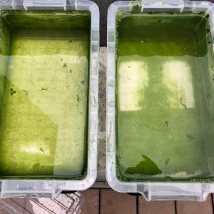 グリーンウォーターでミジンコ培養