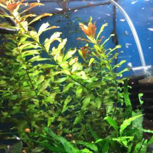 稚魚の育成とミジンコ