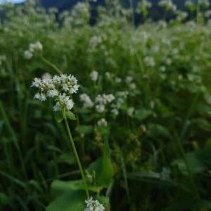 再び、そばの花を撮ってきた