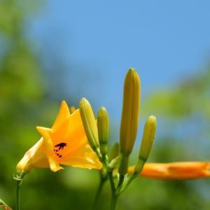 白山高山植物園でニッコウキスゲを撮ってきた