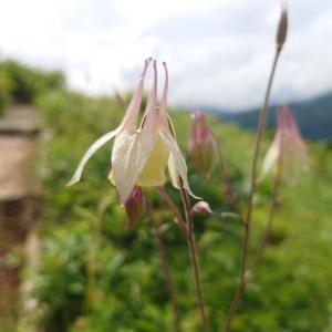 ヤマオダマキとタムラソウ。白山高山植物園