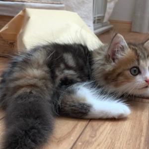 もふもふ短足猫の成長記録3日目【ミヌエットの子猫】