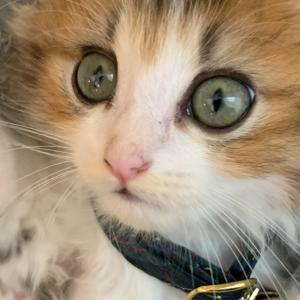 もふもふ短足猫の成長記録4日目【ミヌエットの子猫】