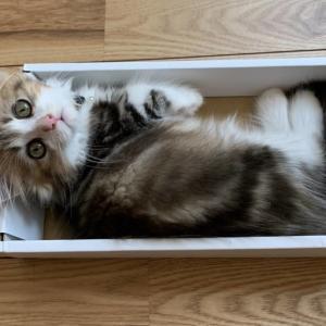 もふもふ猫が箱で寝てた!短足猫と遊ぼう【ミヌエットの子猫】