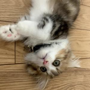 もふ猫のもなかが噛みついてくる!痛可愛い!!【ミヌエットの子猫】