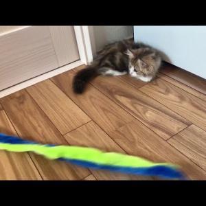 もふもふ短足子猫のもなかが初めてのべランダ散歩してみた【ミヌエットの子猫】