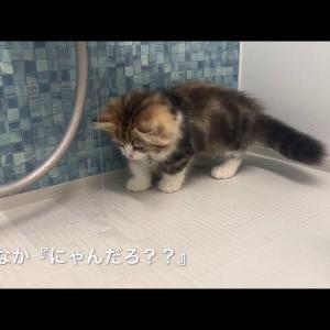 子猫が初めてお風呂場に!流れる水にびっくりする姿が可愛い【ミヌエットの子猫】