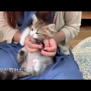 もなかブラッシングと爪切りに挑戦しました【ミヌエットの子猫】