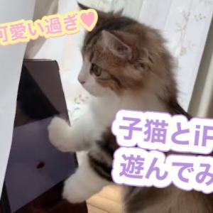 子猫とiPadで遊んでみた!反応が可愛すぎ【ミヌエットの子猫もなか】
