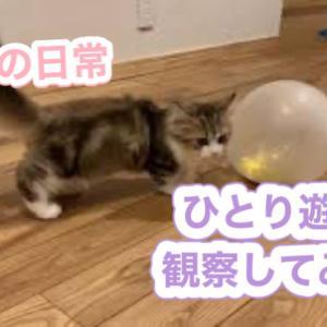 ミヌエットの子猫の日常。一人遊びを観察【ミヌエットの子猫もなか】