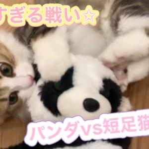 パンダvs短足猫もなか【ミヌエットの子猫もなかと遊ぼう】