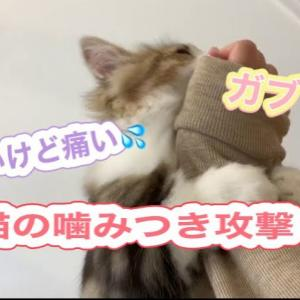 本気の噛みつき攻撃をしてくる子猫が可愛い【ミヌエットの子猫もなか】