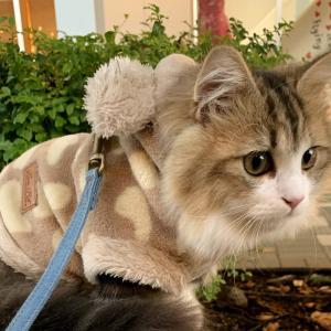 もふ猫が洋服を着てお出かけしてみた♪子猫のお散歩風景【ミヌエットの子猫もなか】