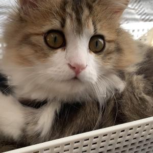 カゴに入りたい子猫♪毛繕いしてご機嫌【ミヌエットの子猫もなか】