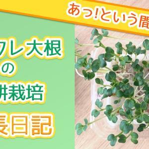 【カイワレ大根の水耕栽培】家庭菜園初心者におすすめ!室内でわずか2週間で収穫!