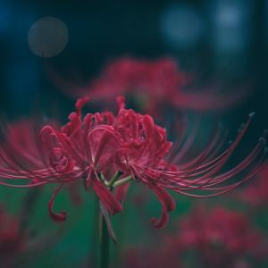 LUMIX S1とSIGMA24-70mmDGDNで彼岸花を撮った