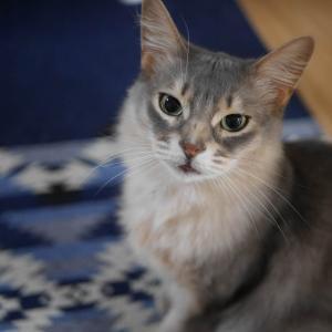 【人気の猫種】ソマリの特徴や性格は?