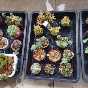 だんだん寒くなってゆく中 多肉植物に水やりをしました