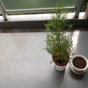 【ベランダ菜園】パクチーの種を植える。そして。