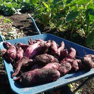秋と言えば芋掘り、焼き芋