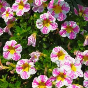 ピンク系と白がいい具合に配色されたカリブラコアスーパーベルと思われるお花